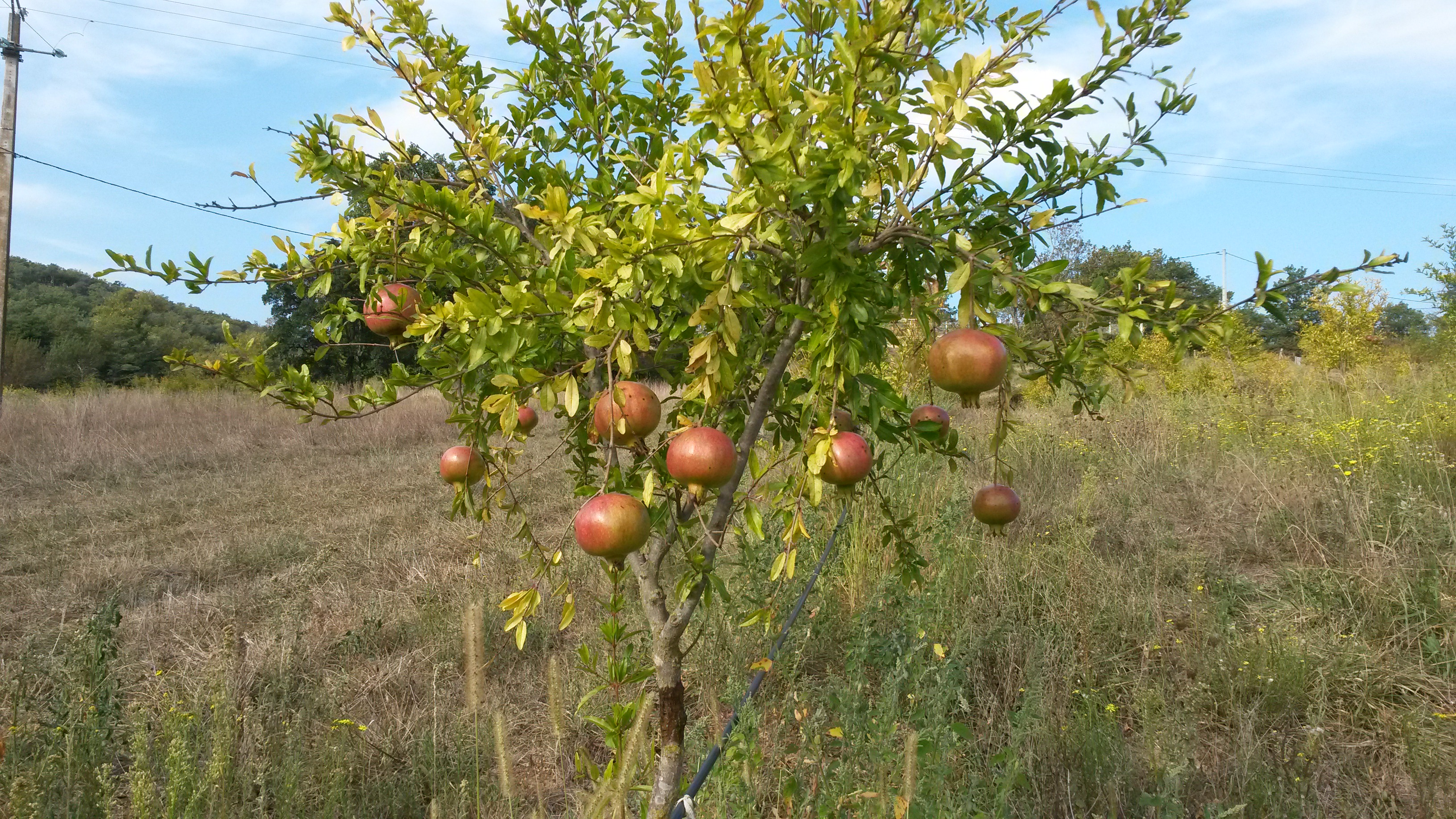 planter un grenadier a fruits