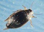 - La nepe - le dytique - notonecte - gerris ou punaise d'eau dans insectes dytique-150x111